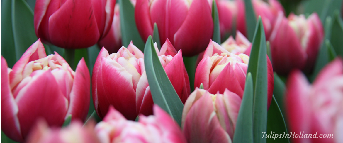 new tickets to keukenhof