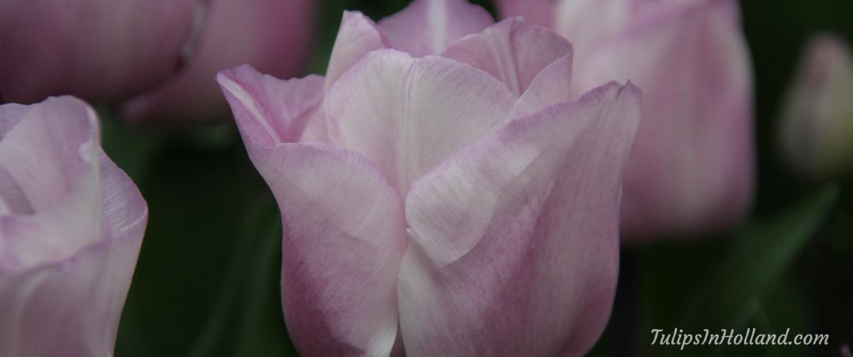 tulip carré