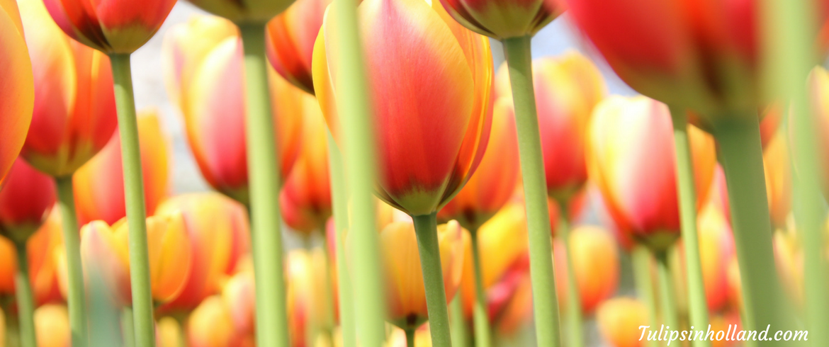 When are the tulips in bloom in 2017