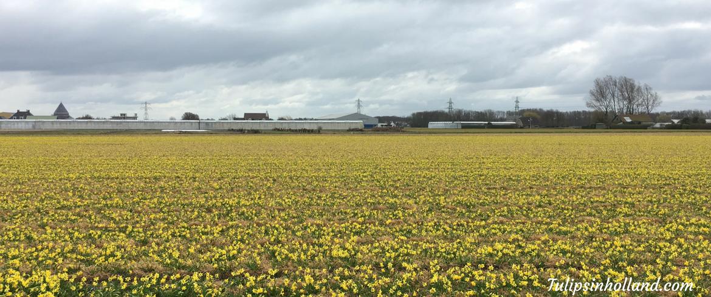 current status daffodil fields