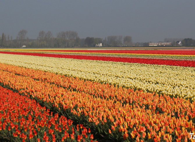 Tulips in Holland - 9 april 2017