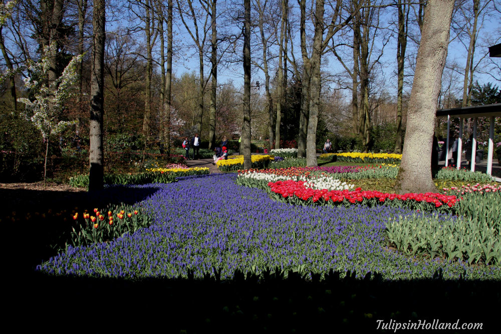 tulips in holland 9 april 2017