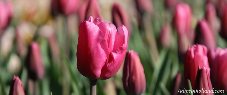 CBS Sunday Morning - Tulips at Hortus Bulborum