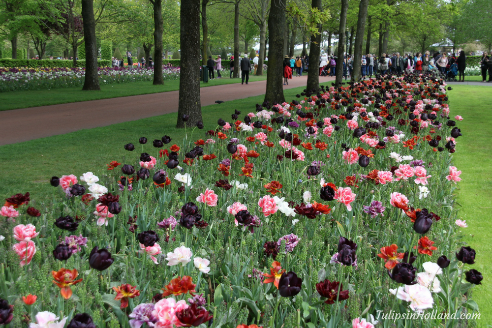 Flower Garden Events Tulips In Holland