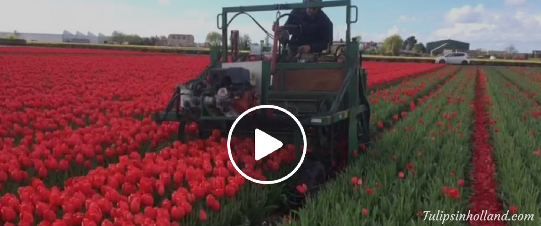 Heading of the tulips - Keukenhof area