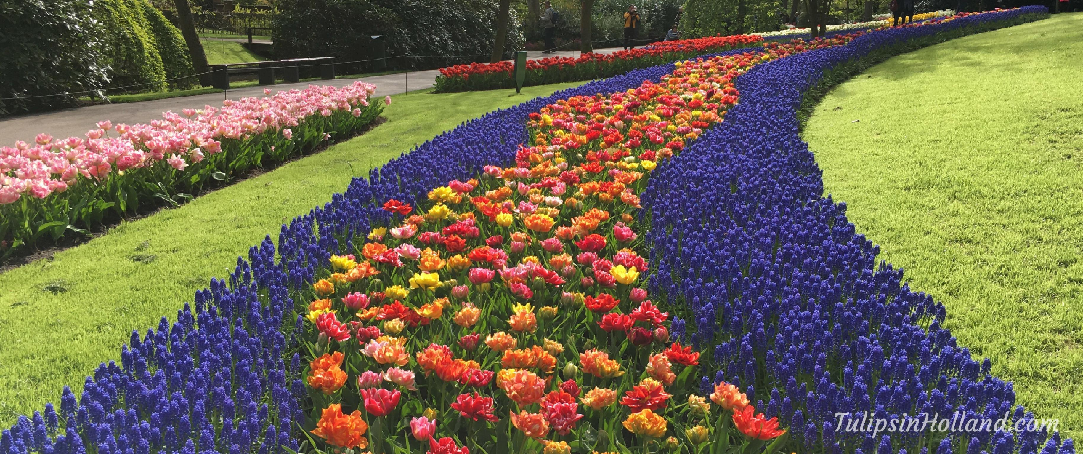 gardens - tulips in holland