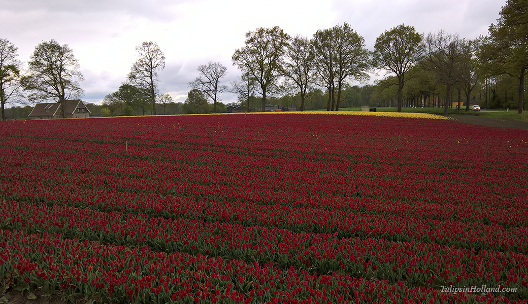 tulips in twente
