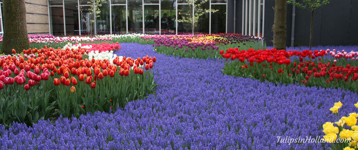 Best Time To See Tulips In Amsterdam 2020 Opening Keukenhof 2019   Tulips in Holland