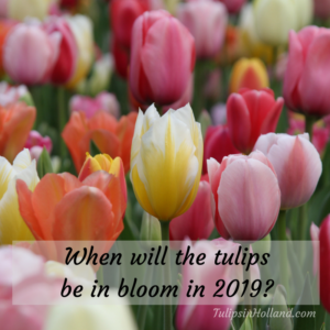when will the tulips be in bloom in 2019 v2