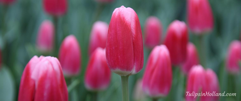 getting ready tulip season week 1 2019