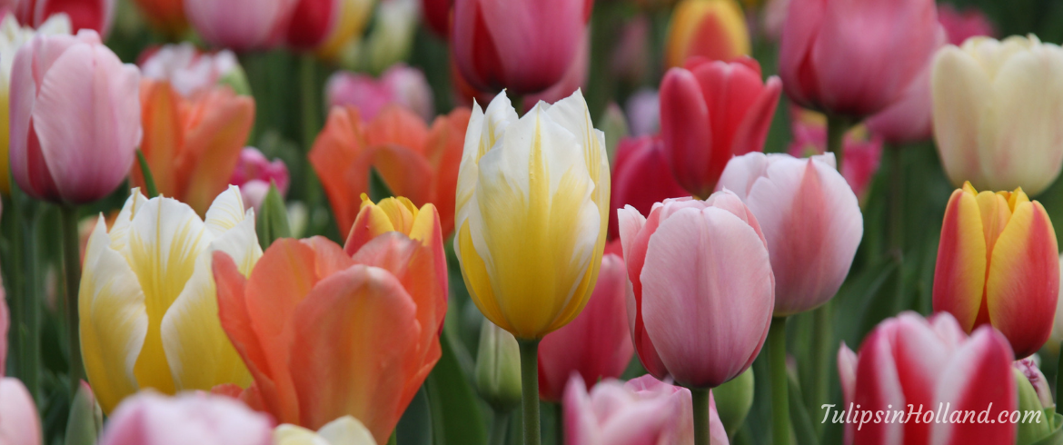Flower shows, activities events at Keukenhof 2019