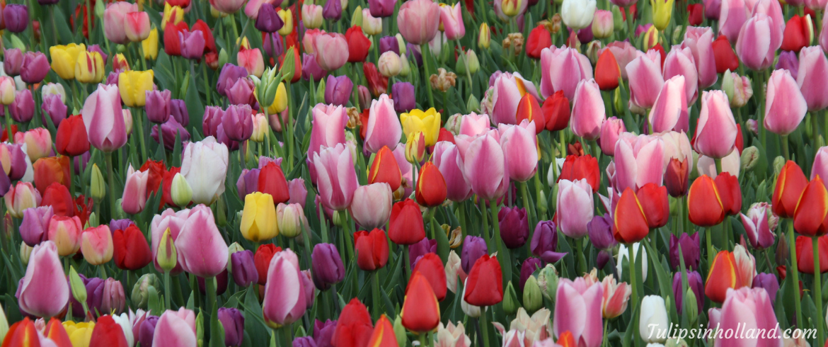 Keukenhof can't open on March 21st 2020